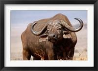 Framed Tanzania, Ngorongoro Crater. African Buffalo wildlife