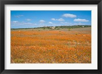Framed Field of Spring flowers, South Africa