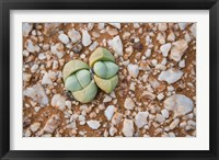 Framed Succulents, quartz, Cape Province, South Africa