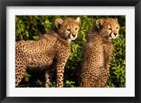 Framed Tanzania, Ndutu, Ngorongoro, Cheetahs