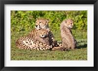 Framed Tanzania, Ngorongoro Conservation, Cheetahs