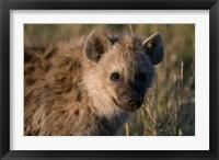 Framed Spotted Hyaena, Masai Mara National Reserve, Kenya