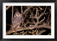 Framed Spotted Eagle Owl, Mpumalanga, South Africa