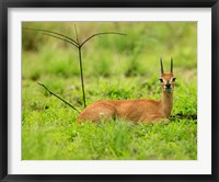Framed Steenbok buck, Mkuze Game Reserve, South Africa