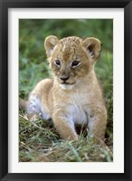 Framed Tanzania, Serengeti National Park, African lion