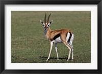 Framed Thomson's Gazelle antelope, Maasai Mara, Kenya