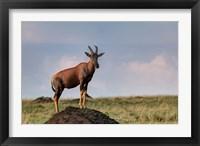Framed Topi antelope on termite mound, Maasai Mara, Kenya