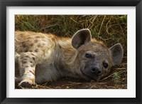 Framed Spotted Jackal resting, Maasai Mara National Reserve, Kenya.