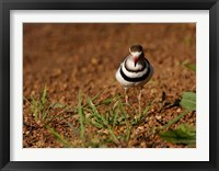 Framed Threebanded Plover, Mkuze Game Reserve, South Africa