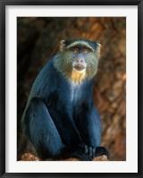 Framed Tanzania, Lake Manyara NP, Blue Monkey