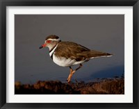 Framed Wading Threebanded Plover, South Africa