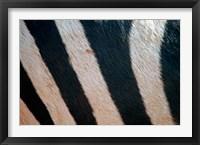 Framed Tanzania, Ngorongoro Crater. Zebra stripes