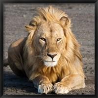 Framed Tanzania, Ngorongoro Conservation Area, Lion