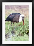 Framed Woolly-necked Stork foraging. Maasai Mara, Kenya, Africa.