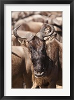 Framed White-bearded Wildebeest, Masai Mara Game Reserve, Kenya