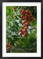 Framed Tropical Litchi Fruit On Tree, Reunion Island, French Overseas Territory