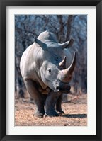 Framed White Square-Lipped Rhino, Namibia