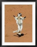 Framed Verreauxs Sifaka, primate, Madagascar