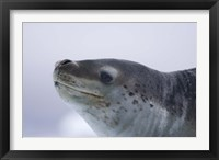 Framed Visitors Get Close-up View of Leopard Seal on Iceberg in Cierva Cove, Antarctic Peninsula