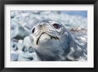 Framed Weddell Seal Resting, Western Antarctic Peninsula, Antarctica