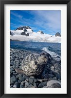 Framed Weddell seal, beach, Western Antarctic Peninsula