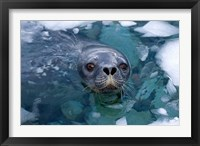 Framed Weddell seal in the water, Western Antarctic Peninsula