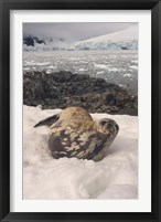 Framed Weddell seal resting, western Antarctic Peninsula