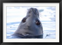 Framed Weddell Seal Head, Western Antarctic Peninsula