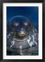 Framed Close up of Weddell seal, Western Antarctic Peninsula