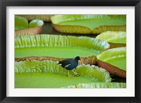 Framed Bird on a water lily leaf, Mauritius