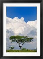 Framed Umbrella Thorn Acacia, Lake Nakuru National Park, Kenya