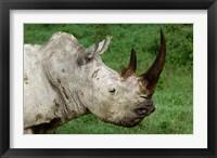Framed Head of a White Rhinoceros, Lake Nakuru National Park, Kenya