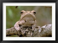 Framed Tree Frog, Phinda Reserve, South Africa