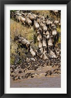 Framed Wildebeest crossing river Mara, Maasai Mara Wildlife Reserve, Kenya