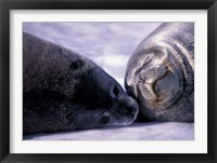 Framed Weddell Fur Seal Cow and Pup, Antarctica
