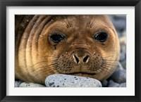 Framed Weddell Seal, South Georgia Island, Sub-Antarctica