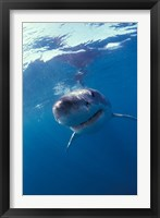 Framed Underwater View of a Great White Shark, South Africa
