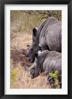 Framed White Rhino in Zulu Nyala Game Reserve, Kwazulu Natal, South Africa