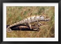 Framed Wild Chameleon, Madagascar
