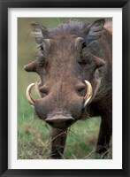 Framed Warthog Displays Tusks, Addo National Park, South Africa