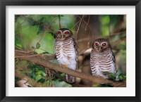 Framed White Browed Owls, Madagascar