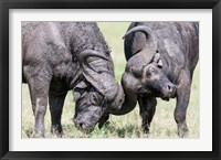 Framed Two bull African Buffalo head butting in a duel, Maasai Mara, Kenya