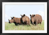 Framed White rhinoceros, Kenya