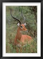 Framed Wild Male Impala, Tanzania