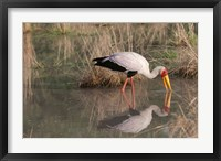 Framed Yellow-Billed Stork, Kwara, Botswana
