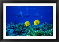 Framed Yellow Butterflyfish with Scuba Divers, Red Sea, Egypt