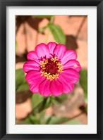 Framed Zinnia flower, Antananarivo, Madagascar
