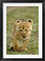 Framed Young lion cub, Masai Mara Game Reserve, Kenya