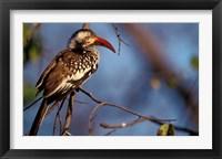 Framed Zimbabwe, Hwange NP, Red-billed hornbill bird