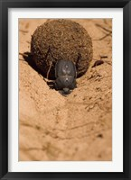Framed Zimbabwe. Dung Beetle insect rolling dung ball